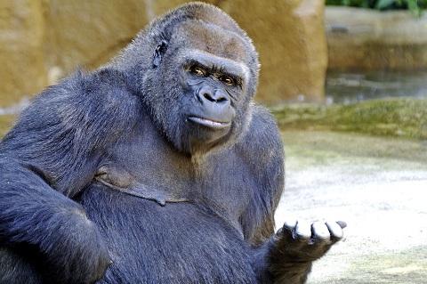 a gorilla