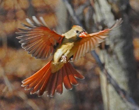 Female Cardinal Landing