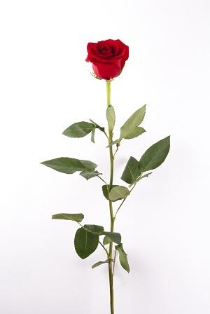 a single rosebud