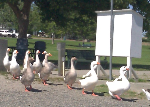 "And yes, the walks were also shared with feathered friends, although their hello was more like a ""honk""!"
