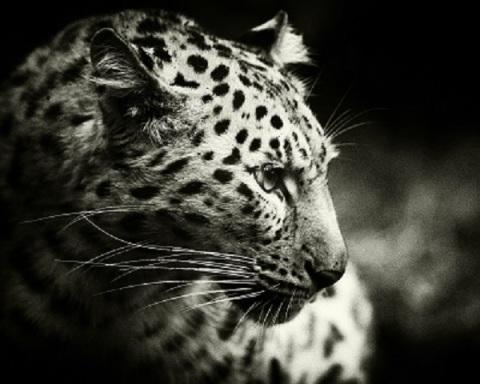 amur_leopard_bw