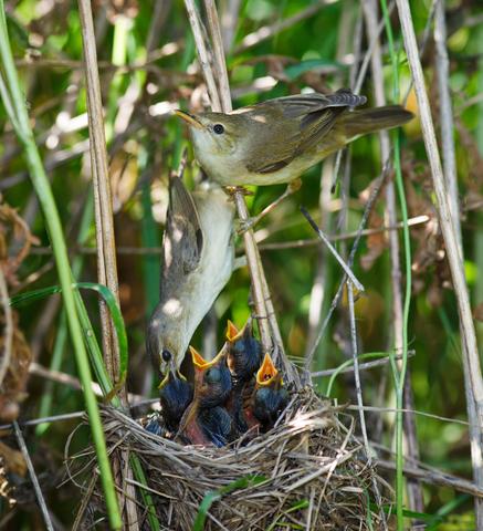Marsh Warbler Family