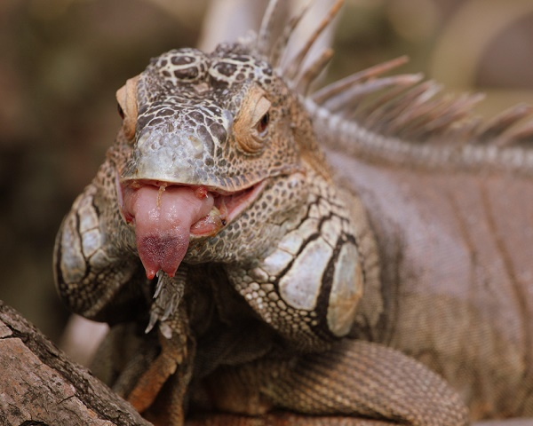 cheeky_iguana