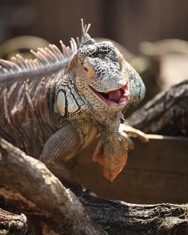 laughing_iguana