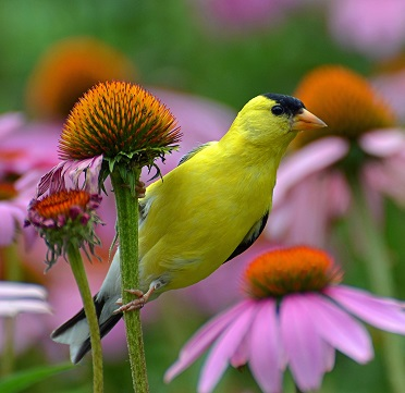 Goldfinch on a Coneflower