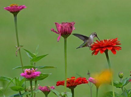 Hummingbird in a Flower Garden