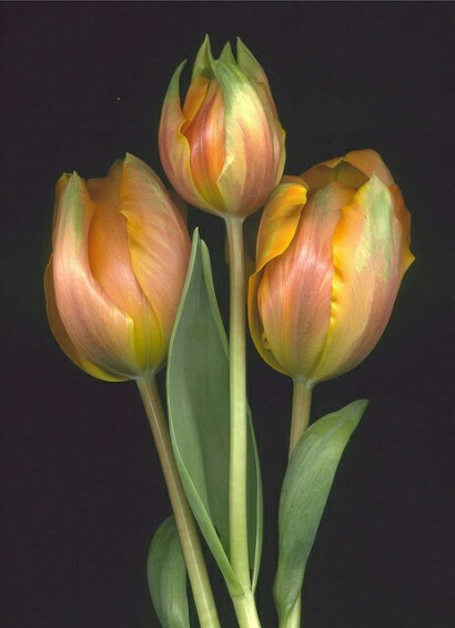 tulipsforlife